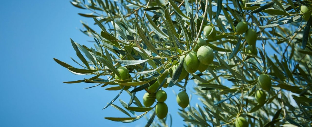 A greek olive tree branch with green olives